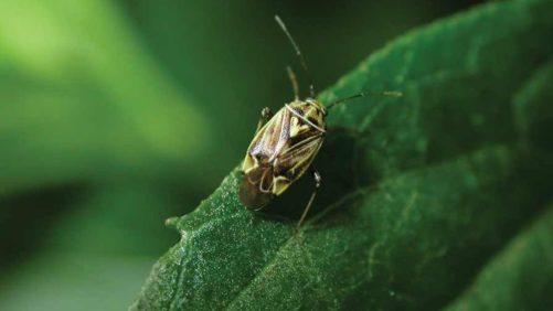 Field Scouting Guide: Lygus Bug