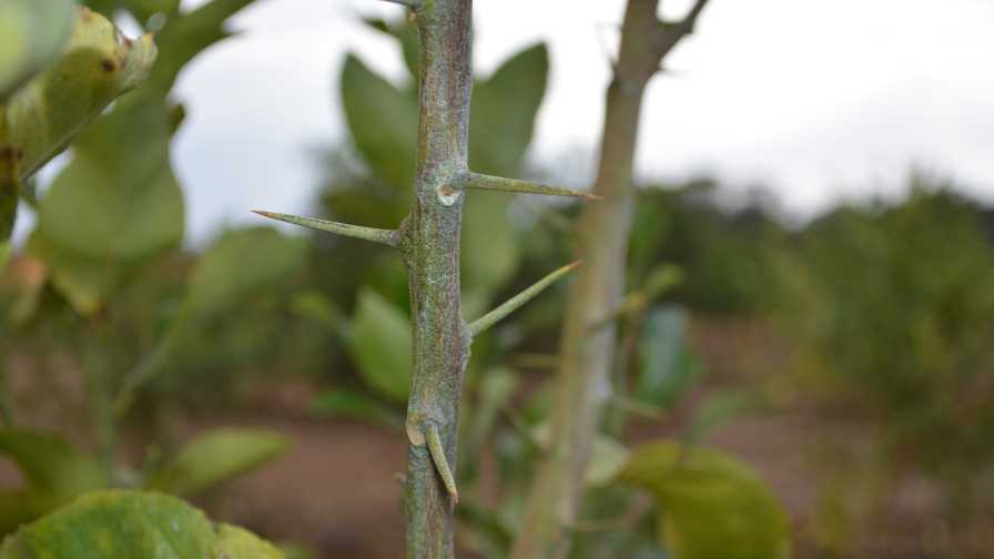 long thorns on lemon trees