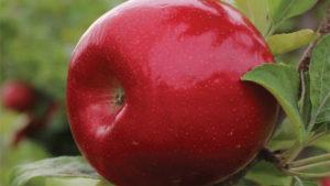 High-Color Honeycrisp, Fuji Strains Among C&O Nursery  Offerings