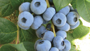 Low Chill, Cold-Hardy Berry Varieties Available at Fall Creek Farm & Nursery