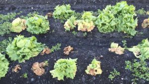 Refuse to Let Fusarium Wilt Waylay Your Lettuce Crop