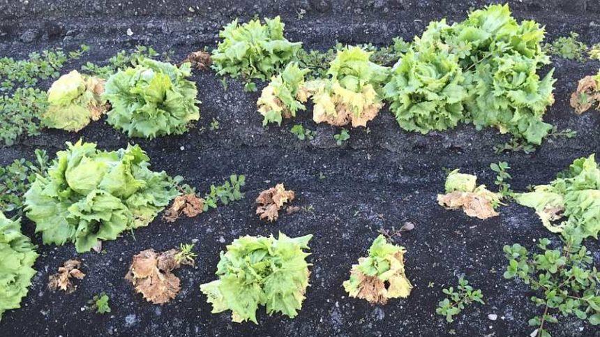 Refuse to Let Fusarium Wilt Waylay Your Lettuce Crop