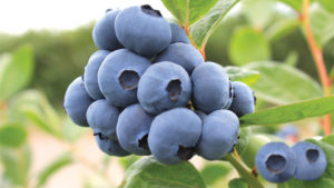 New Early, Low-Chill Blueberry Varieties from Oregon Blueberry Farms and Nursery