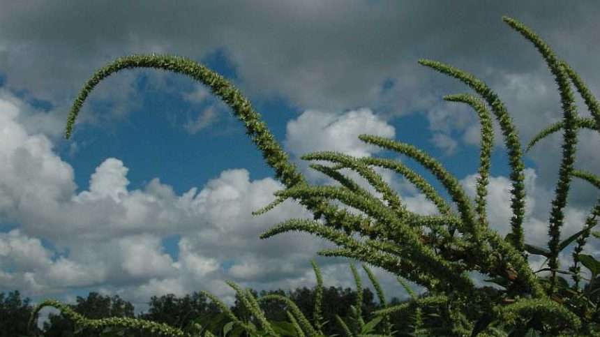 Superweed Palmer Amaranth is on the Move: Here's What You Need to Know