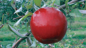 Stark Bro's Releases Two New Apple Varieties Best Suited for Warmer Climates