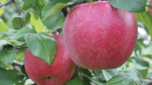 'EverCrisp' and Red Strains of 'Honeycrisp,' Gala' at Wafler Nursery