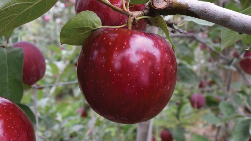 'Cosmic Crisp' and Early Cherries at Willow Drive Nursery