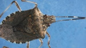 New, Improved  Lure for Stink Bug Detected