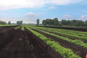 Basore-Farms-muck-soil-and-spinach