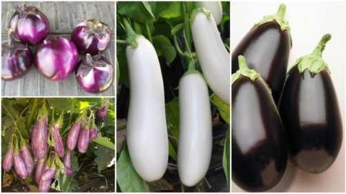 10 Eggplant Varieties You'll Want in Your Crop Mix