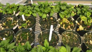 Pacific Northwest Spinach Seed Crop Threatened by Fungus