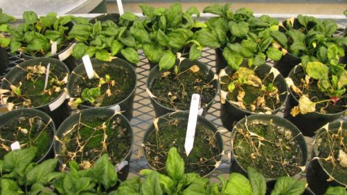 Pacific Northwest Spinach Seed Crop Threatened by Virus