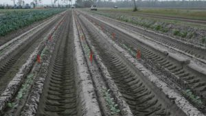 Eastern Broccoli Project Tracking New Growth