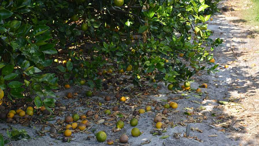 Orange fruit drop in Florida grove