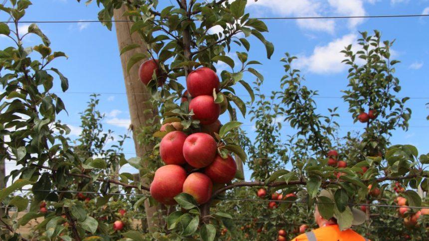IFTA Talking Honeycrisp Apples in New Zealand