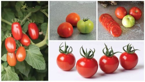 10 Tomato Varieties You Need to Check Out [Slideshow]