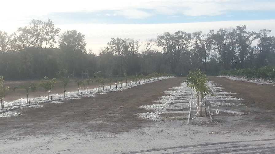 frozen citrus planting in North Florida