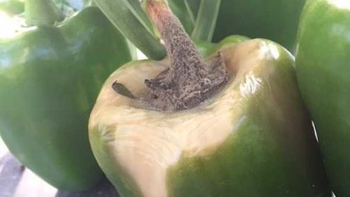 Guard Your Vegetable Crops Against Gray Mold