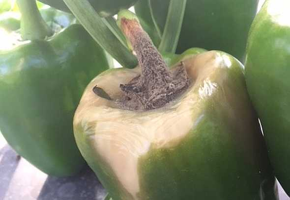gray mold on bell pepper