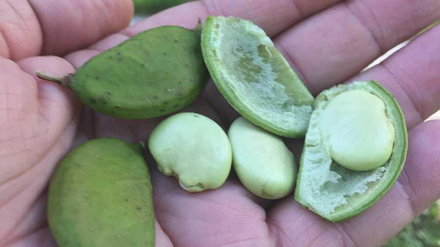 Pongamia beans