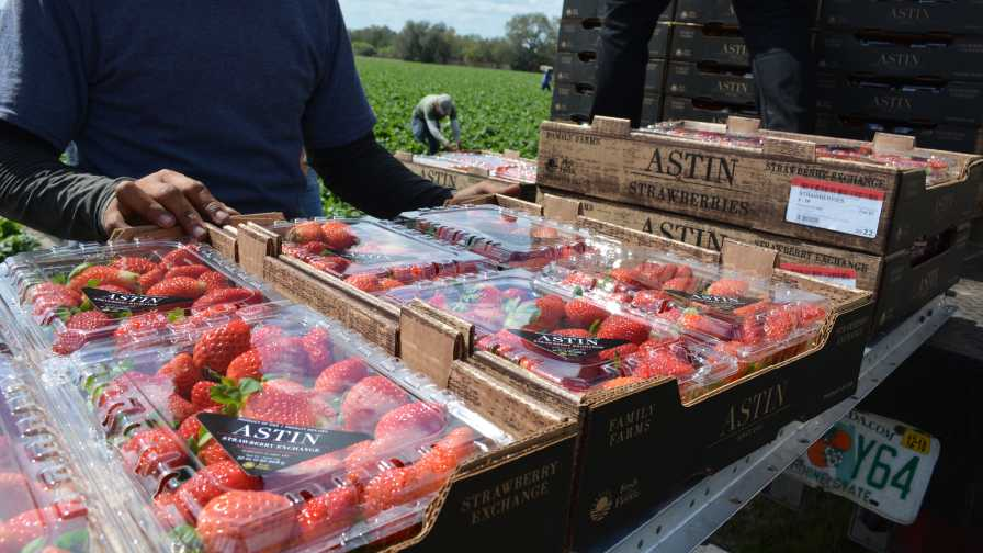 Astin Farms strawberry packinig in the field