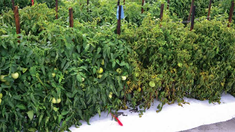 Bacterial spot-resistant tomatoes