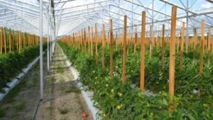 Purchase Puts Lipman on Inside Track to More Tomato Growth