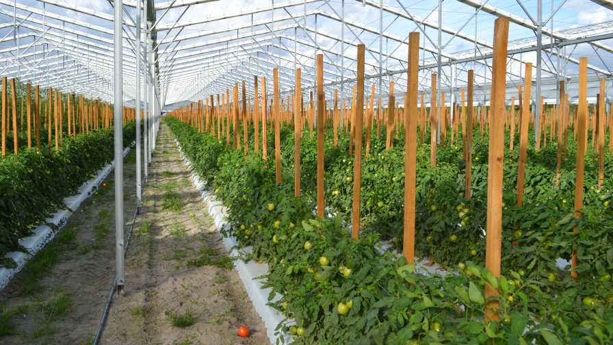 Lipman tomatoes under retractable roof greenhouse
