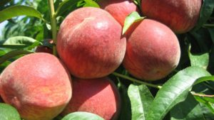Michigan Growers Ready for a Spring Peach Update