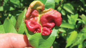 Peach Leaf Curl is One Scary Disease