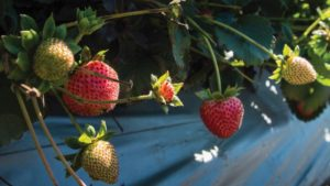 Managing Soil Health Can Improve Strawberry Productivity
