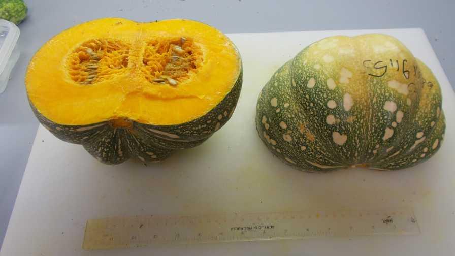 UF/IFAS-bred pumpkins