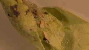 Florida Blueberry Growers on High Alert for Gall Midge