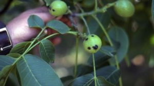 California Cherry, Walnut Growers Get New Tool Against Bacterial Diseases