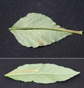 Comparing-Palmer-amaranth-and-water-hemp-leaves.-Photo-courtesty-of-Univeristy-of-Purdue-Extension.-