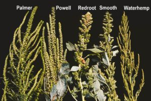 Comparing-palmer-amaranth-with-other-weeds