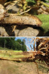 Comparing-southern-blight-and-fusarium-crown-rot