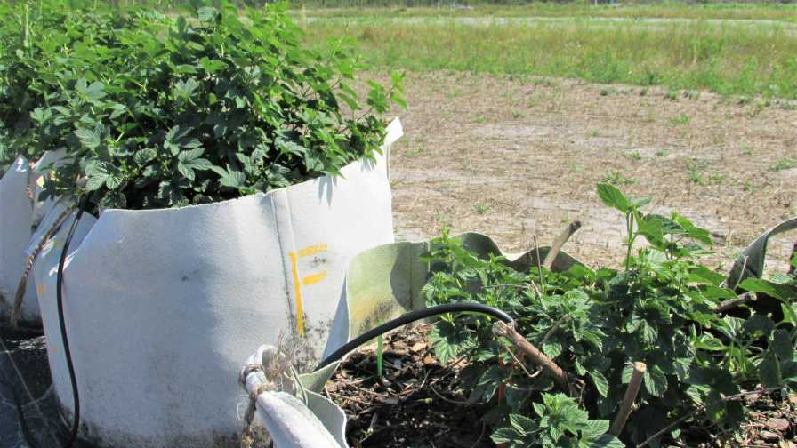 USDA Florida hops dormancy trial