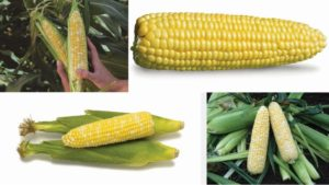 13 Sweet Corn Varieties You've Gotta Taste