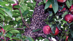 New Finds of Spotted Lanternfly on Apple