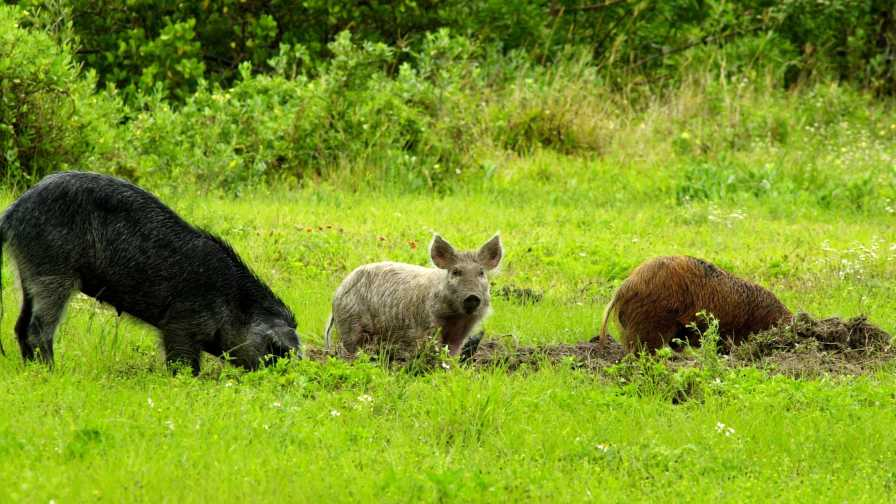 Wild hogs rooting around