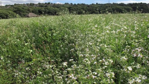 Study: Radish Cover Crop Biomass Doesn't Share Nitrogen