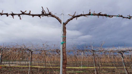 Early Ripening Grapes Could Revolutionize Raisin Production