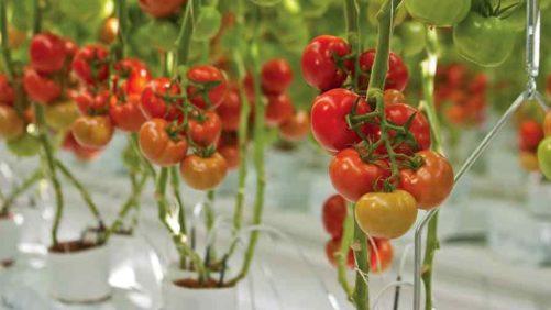 Wholesum Harvest's Take on USDA's Organic Hydroponic Ruling