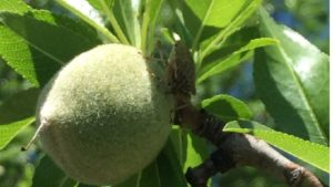 Brown Marmorated Stink Bug Officially Deemed Pest of California Almonds