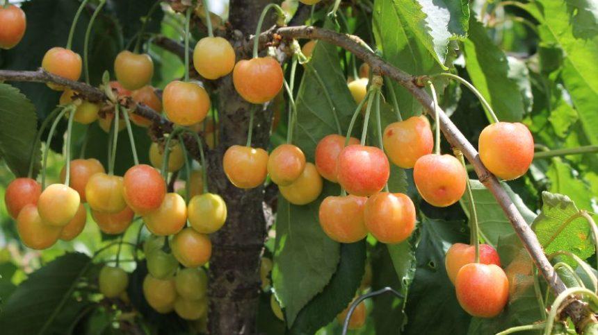 U.S. Sweet Cherry Crop Down 26%