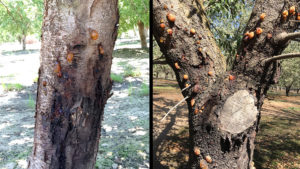 Early Detection Key to Managing Ceratocystis Canker in Almonds