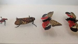 Spotted Lanternfly Found in Virginia Grapes
