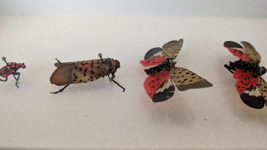 Spotted Lanternfly Found In Virginia Grapes Growing Produce