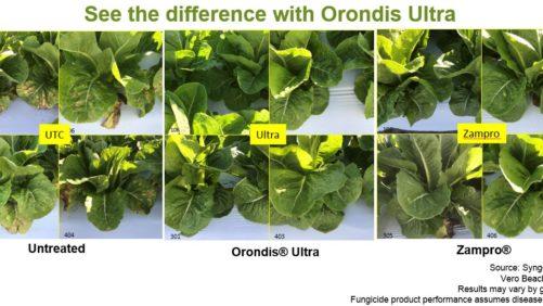 Breaking the downy mildew disease cycle in lettuce